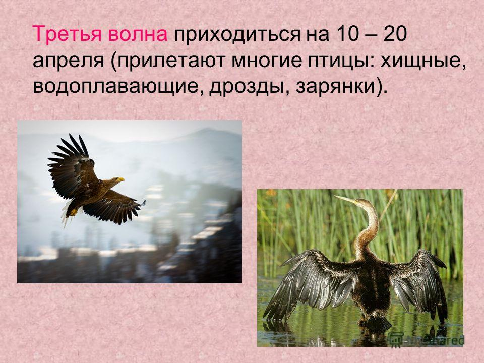 Третья волна приходиться на 10 – 20 апреля (прилетают многие птицы: хищные, водоплавающие, дрозды, зарянки).