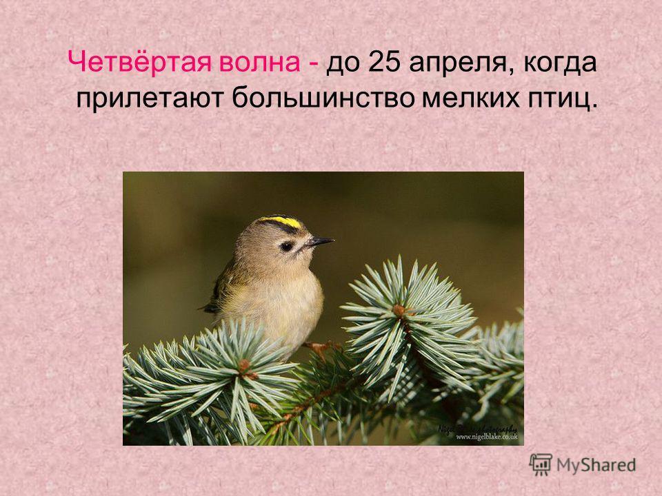 Четвёртая волна - до 25 апреля, когда прилетают большинство мелких птиц.