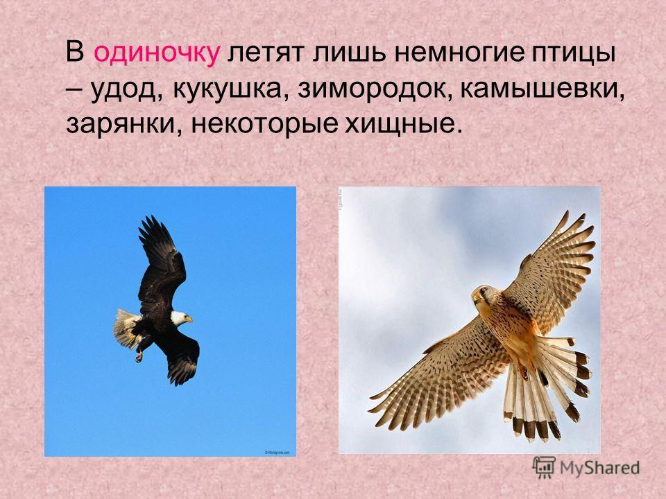В одиночку летят лишь немногие птицы – удод, кукушка, зимородок, камышевки, зарянки, некоторые хищные.