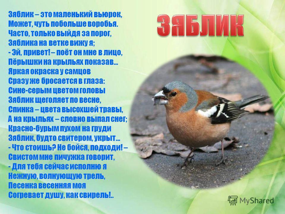 Зяблик – это маленький вьюрок, Может, чуть побольше воробья. Часто, только выйдя за порог, Зяблика на ветке вижу я; - Эй, привет! – поёт он мне в лицо, Пёрышки на крыльях показав… Яркая окраска у самцов Сразу же бросается в глаза: Сине-серым цветом г