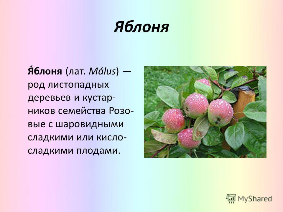 Яблоня Я́блоня (лат. Málus) род листопадных деревьев и кустар- ников семейства Розо- вые с шаровидными сладкими или кисло- сладкими плодами.