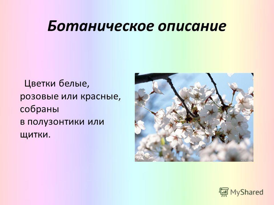 Ботаническое описание Цветки белые, розовые или красные, собраны в полузонтики или щитки.