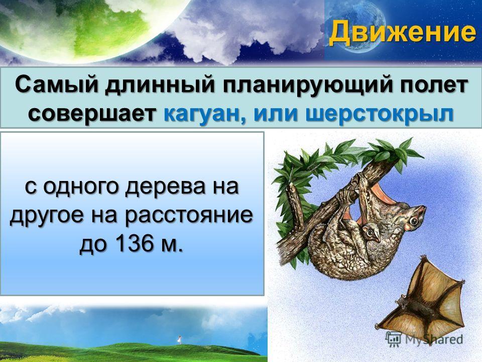 Движение Самый длинный планирующий полет совершает кагуан, или шерстокрыл с одного дерева на другое на расстояние до 136 м.