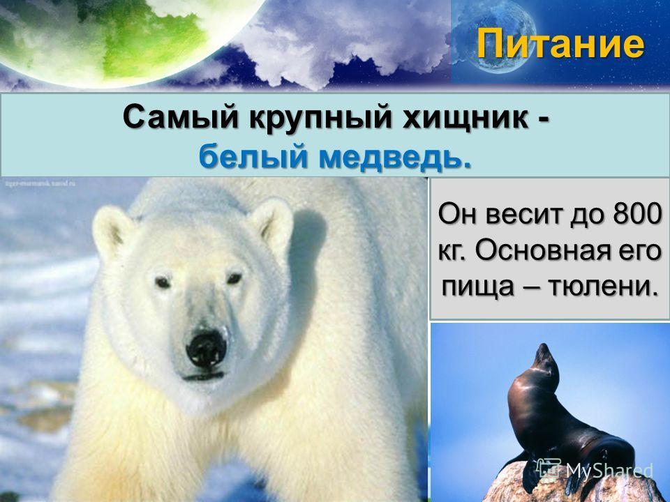 Питание Самый крупный хищник - белый медведь. Он весит до 800 кг. Основная его пища – тюлени.