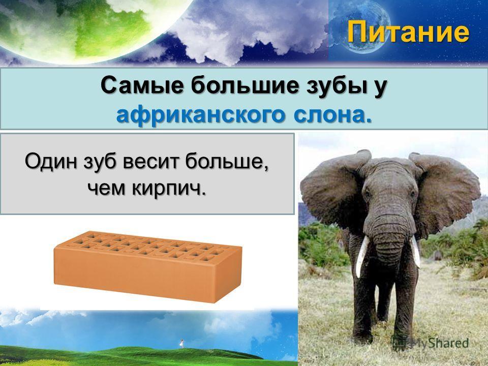 Питание Самые большие зубы у африканского слона. Один зуб весит больше, чем кирпич.