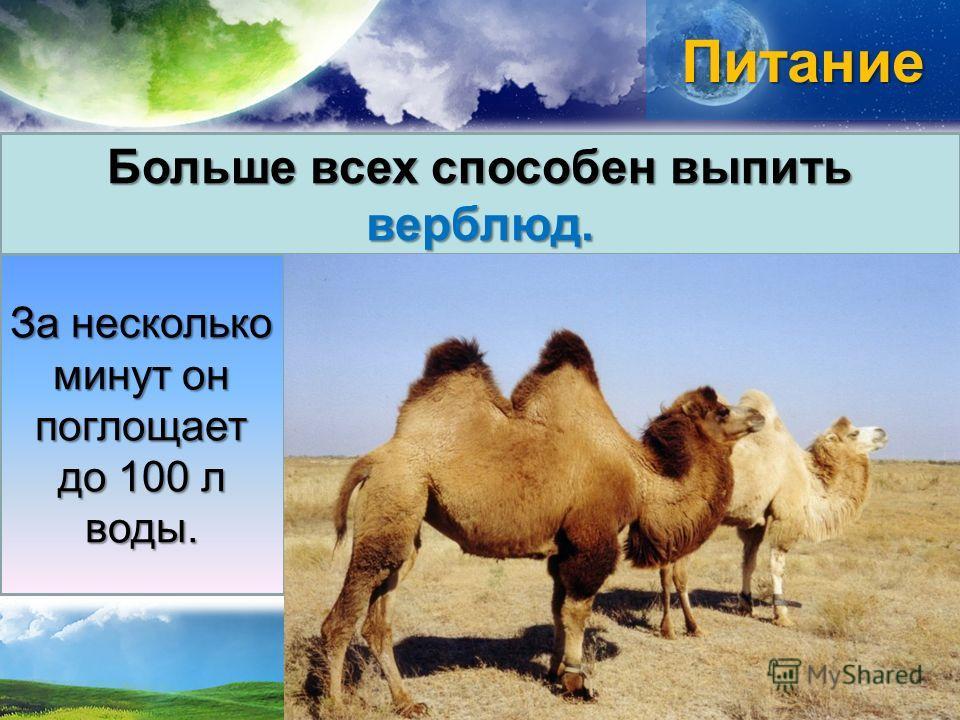 Питание Больше всех способен выпить верблюд. За несколько минут он поглощает до 100 л воды.