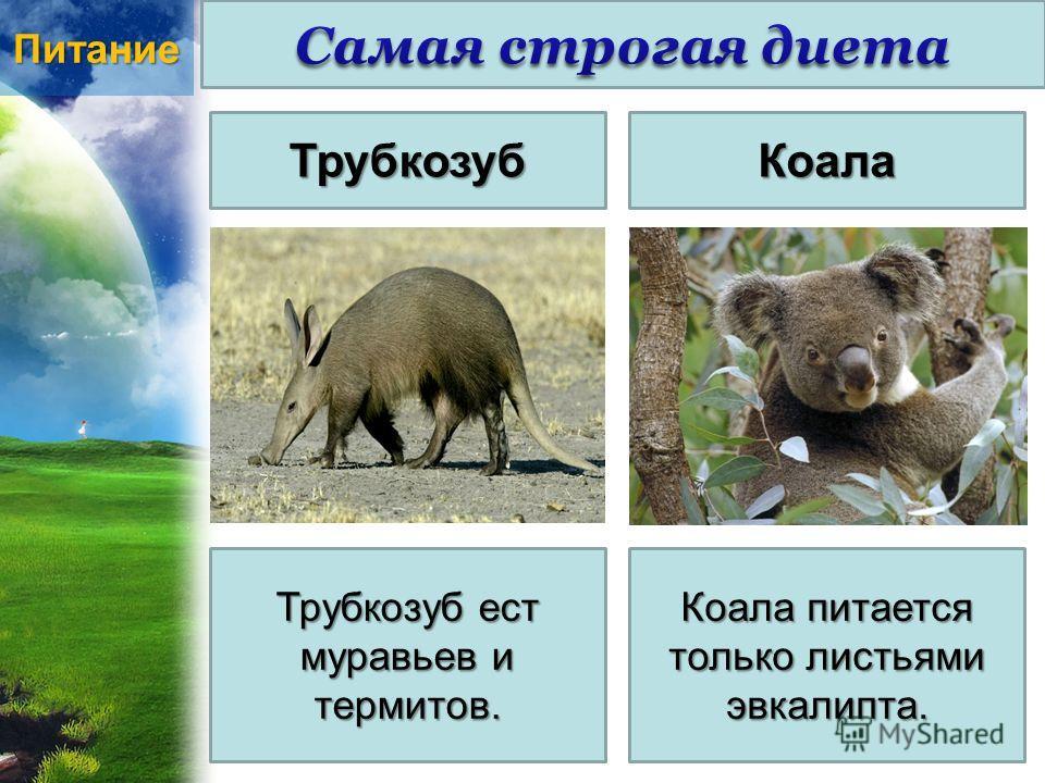 ПитаниеТрубкозубКоала Трубкозуб ест муравьев и термитов. Коала питается только листьями эвкалипта.