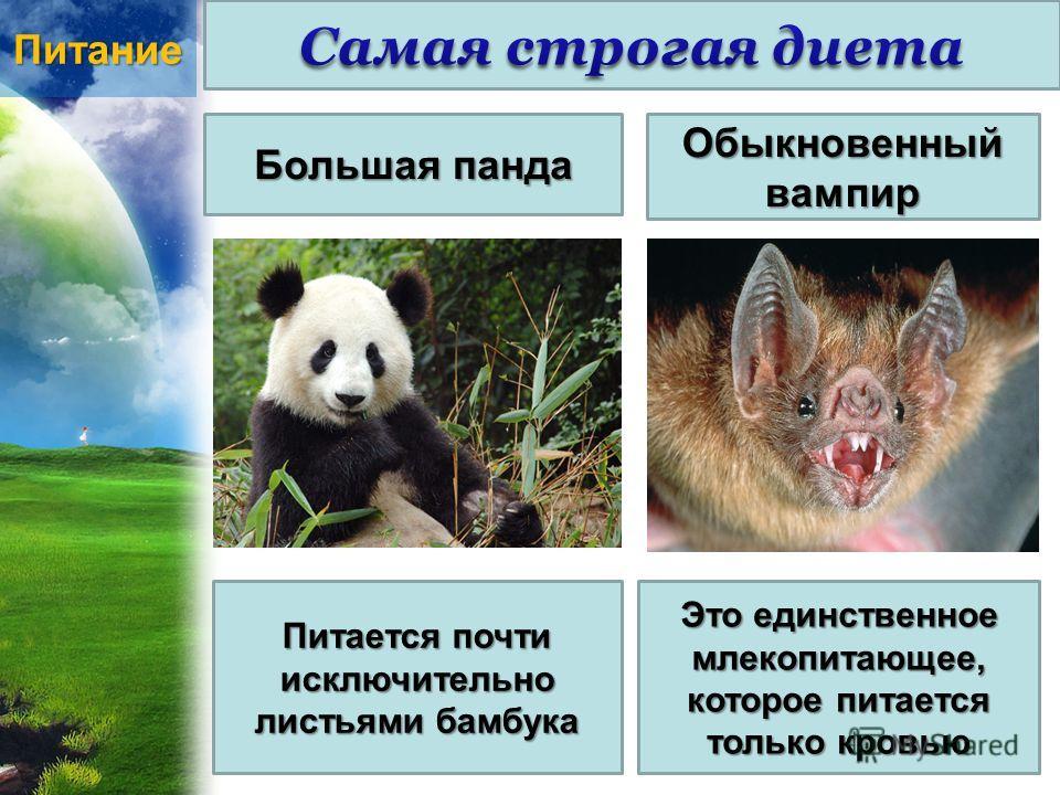 Питание Большая панда Обыкновенный вампир Питается почти исключительно листьями бамбука Это единственное млекопитающее, которое питается только кровью
