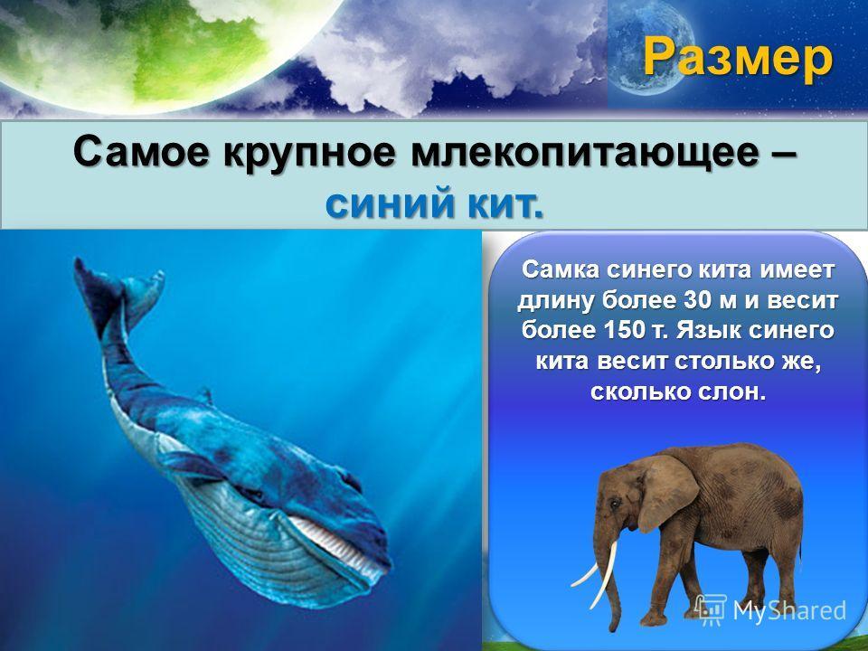 Размер Самое крупное млекопитающее – синий кит. Самка синего кита имеет длину более 30 м и весит более 150 т. Язык синего кита весит столько же, сколько слон.