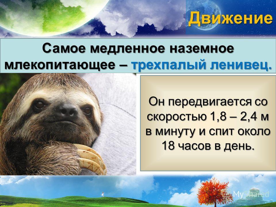 Движение Самое медленное наземное млекопитающее – трехпалый ленивец. Он передвигается со скоростью 1,8 – 2,4 м в минуту и спит около 18 часов в день.