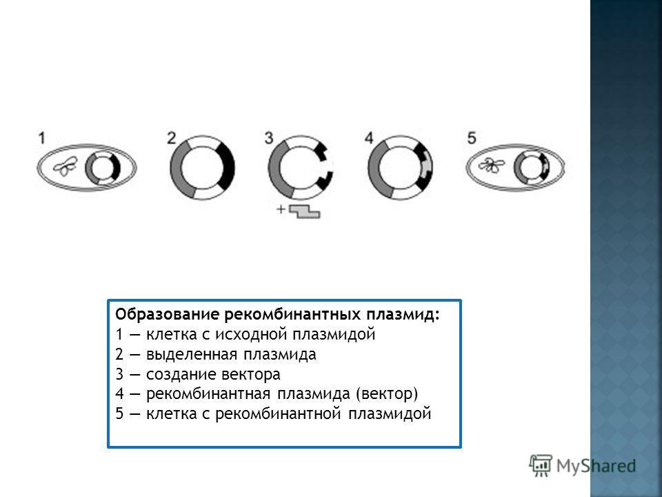 Образование рекомбинантных плазмид: 1 клетка с исходной плазмидой 2 выделенная плазмида 3 создание вектора 4 рекомбинантная плазмида (вектор) 5 клетка с рекомбинантной плазмидой