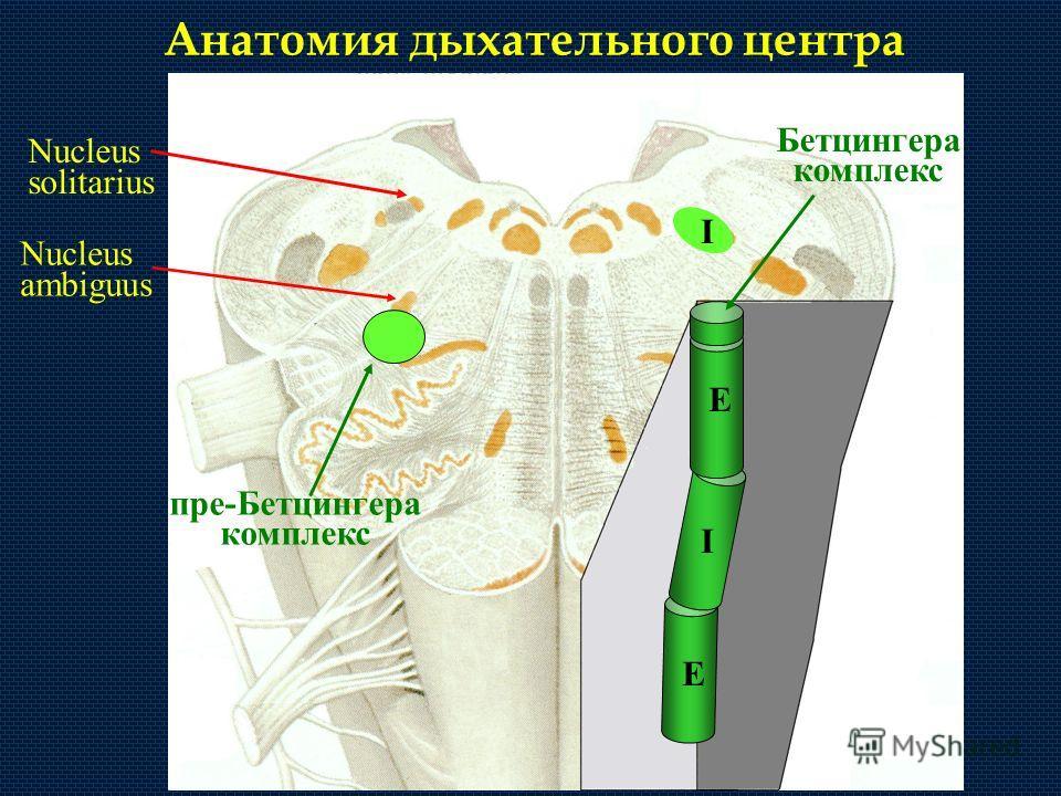 Анатомия дыхательного центра Nucleus ambiguus Nucleus solitarius I пре-Бетцингера комплекс E E I Бетцингера комплекс
