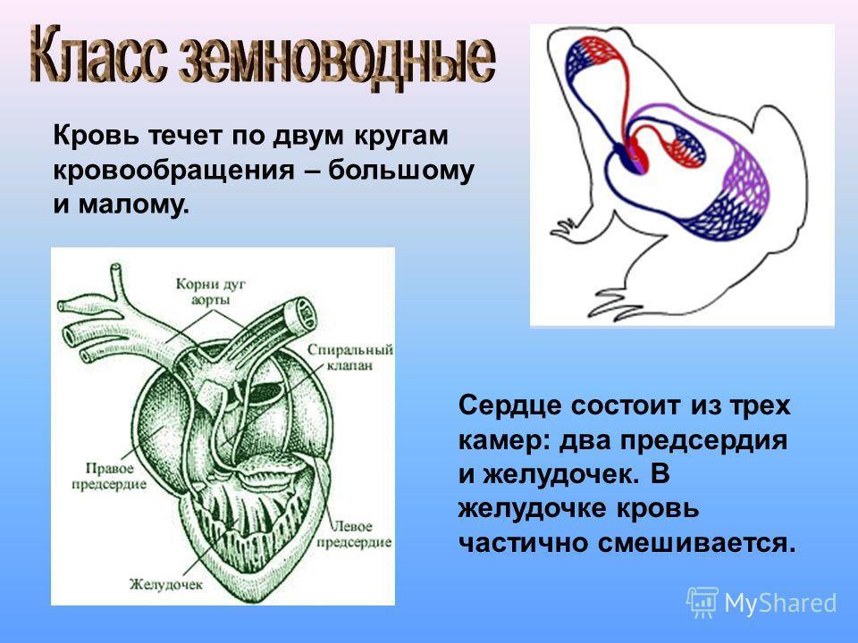 Кровь течет по двум кругам кровообращения – большому и малому. Сердце состоит из трех камер: два предсердия и желудочек. В желудочке кровь частично смешивается.