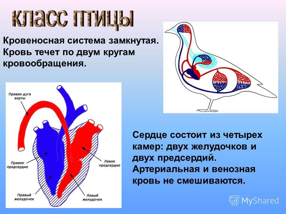 Кровеносная система замкнутая. Кровь течет по двум кругам кровообращения. Сердце состоит из четырех камер: двух желудочков и двух предсердий. Артериальная и венозная кровь не смешиваются.