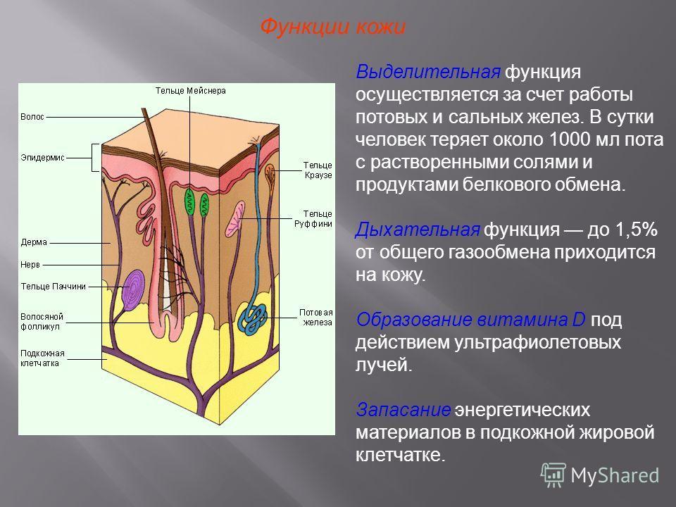 Функции кожи Выделительная функция осуществляется за счет работы потовых и сальных желез. В сутки человек теряет около 1000 мл пота с растворенными солями и продуктами белкового обмена. Дыхательная функция до 1,5% от общего газообмена приходится на к