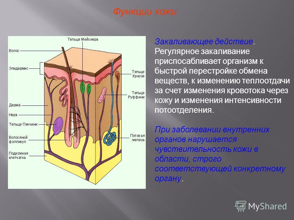 Функции кожи Закаливающее действие. Регулярное закаливание приспосабливает организм к быстрой перестройке обмена веществ, к изменению теплоотдачи за счет изменения кровотока через кожу и изменения интенсивности потоотделения. При заболевании внутренн