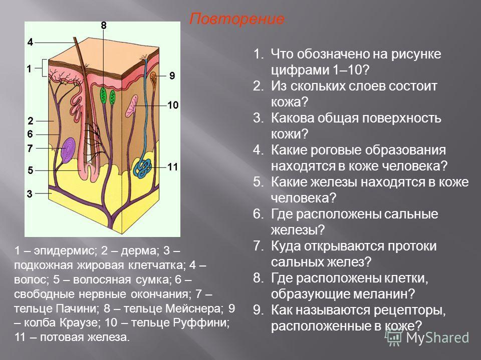 Повторение 1.Что обозначено на рисунке цифрами 1–10? 2.Из скольких слоев состоит кожа? 3.Какова общая поверхность кожи? 4.Какие роговые образования находятся в коже человека? 5.Какие железы находятся в коже человека? 6.Где расположены сальные железы?