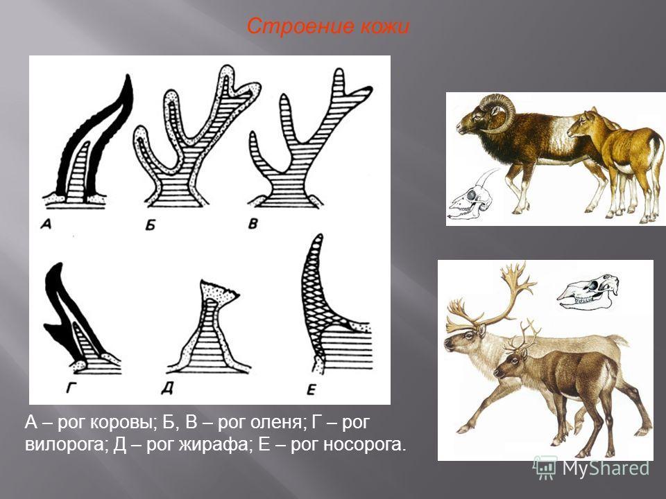 Строение кожи А – рог коровы; Б, В – рог оленя; Г – рог вилорога; Д – рог жирафа; Е – рог носорога.