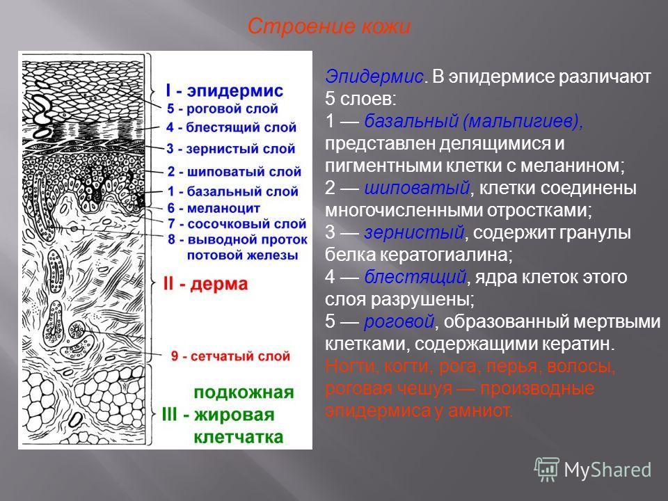 Клетки Эпидермиса Шиповатые