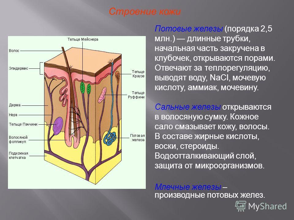 Строение кожи Потовые железы (порядка 2,5 млн.) длинные трубки, начальная часть закручена в клубочек, открываются порами. Отвечают за теплорегуляцию, выводят воду, NaCl, мочевую кислоту, аммиак, мочевину. Сальные железы открываются в волосяную сумку.