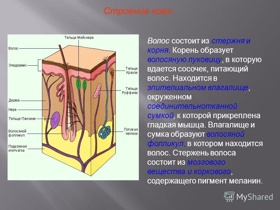 Строение кожи Волос состоит из стержня и корня. Корень образует волосяную луковицу, в которую вдается сосочек, питающий волос. Находится в эпителиальном влагалище, окруженном соединительнотканной сумкой, к которой прикреплена гладкая мышца. Влагалище