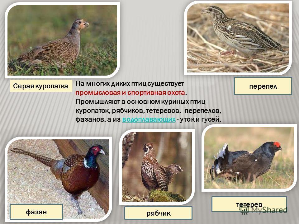 На многих диких птиц существует промысловая и спортивная охота. Промышляют в основном куриных птиц - куропаток, рябчиков, тетеревов, перепелов, фазанов, а из водоплавающих - уток и гусей.водоплавающих Серая куропатка фазан перепел рябчик тетерев