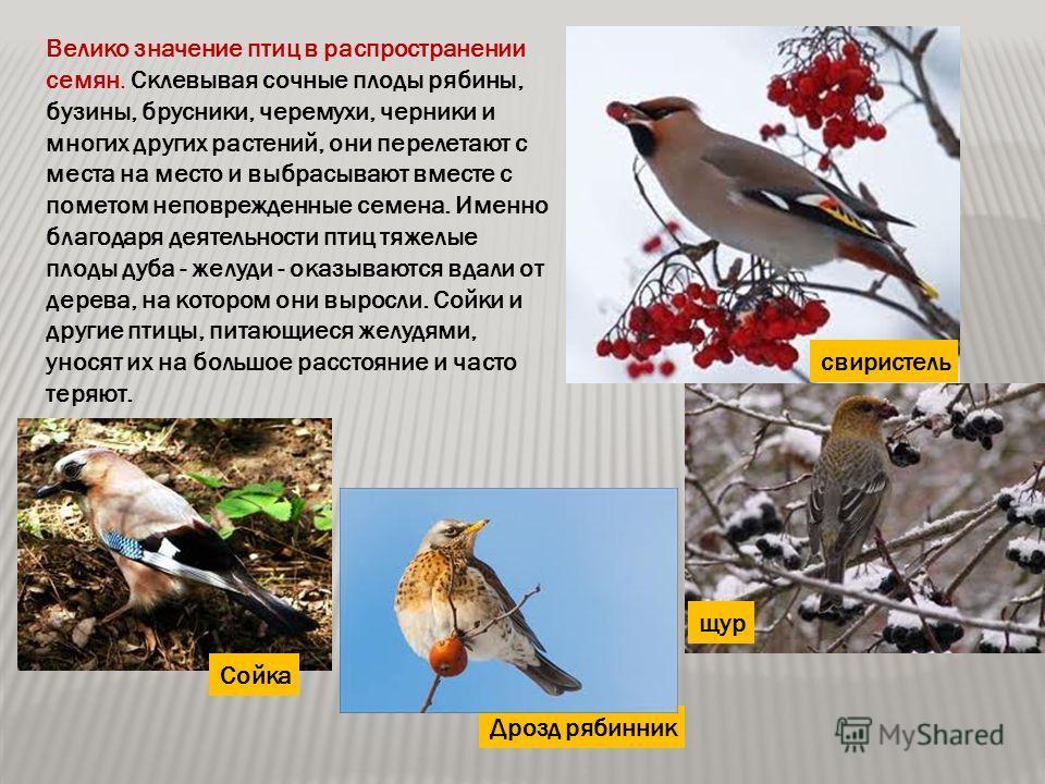 Велико значение птиц в распространении семян. Склевывая сочные плоды рябины, бузины, брусники, черемухи, черники и многих других растений, они перелетают с места на место и выбрасывают вместе с пометом неповрежденные семена. Именно благодаря деятельн