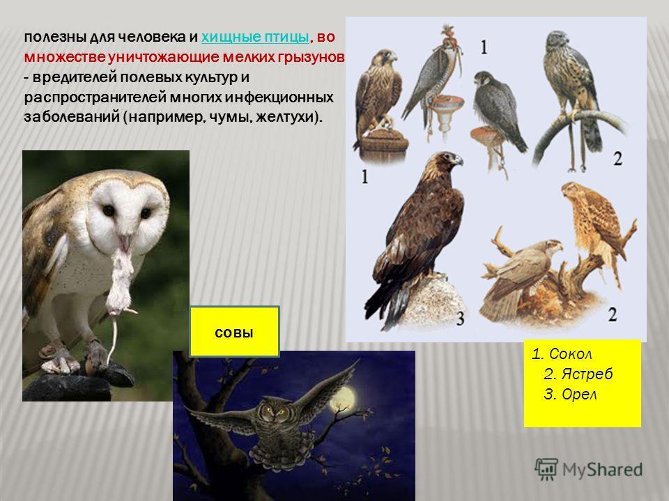 полезны для человека и хищные птицы, во множестве уничтожающие мелких грызунов - вредителей полевых культур и распространителей многих инфекционных заболеваний (например, чумы, желтухи).хищные птицы 1. Сокол 2. Ястреб 3. Орел совы