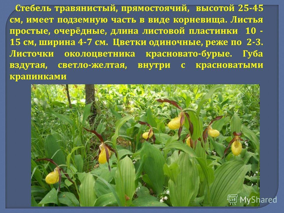 Стебель травянистый, прямостоячий, высотой 25-45 см, имеет подземную часть в виде корневища. Листья простые, очерёдные, длина листовой пластинки 10 - 15 см, ширина 4-7 см. Цветки одиночные, реже по 2-3. Листочки околоцветника красновато - бурые. Губа