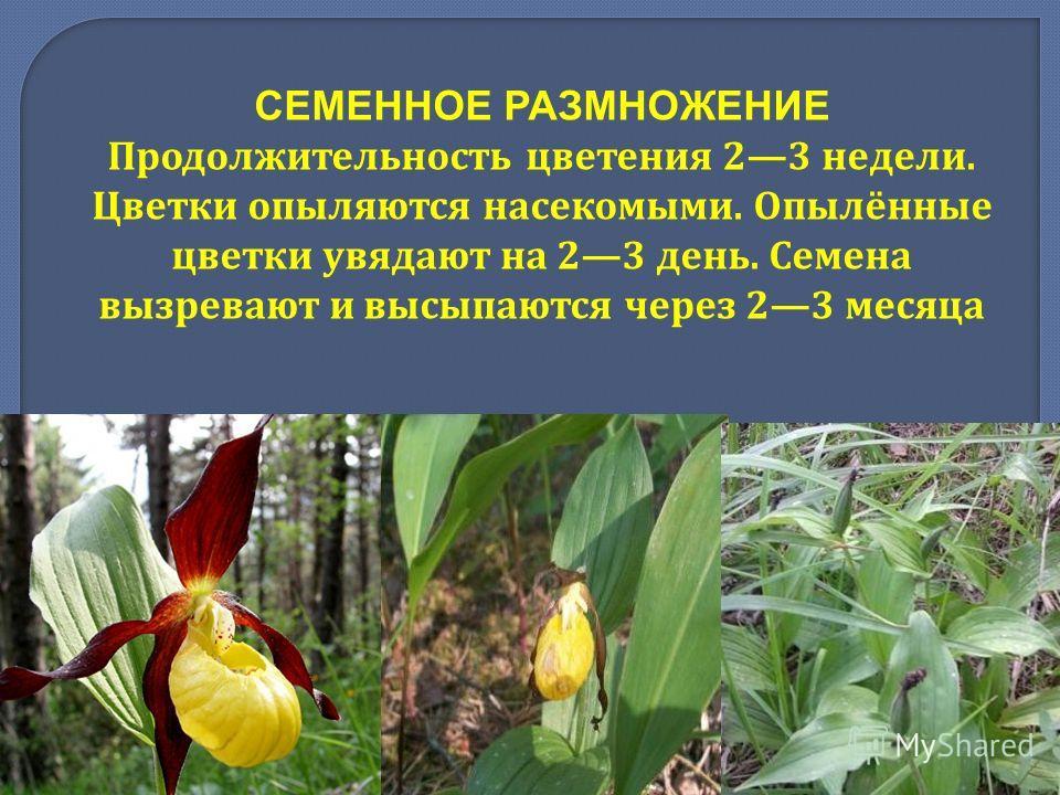 СЕМЕННОЕ РАЗМНОЖЕНИЕ Продолжительность цветения 23 недели. Цветки опыляются насекомыми. Опылённые цветки увядают на 23 день. Семена вызревают и высыпаются через 23 месяца