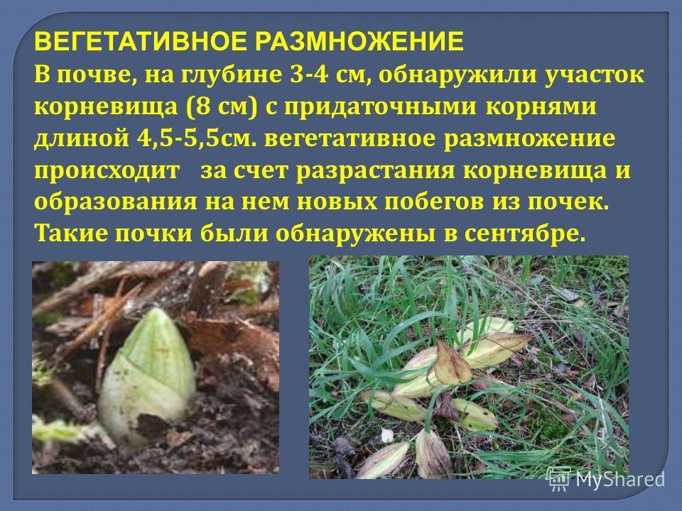 ВЕГЕТАТИВНОЕ РАЗМНОЖЕНИЕ В почве, на глубине 3-4 см, обнаружили участок корневища (8 см ) с придаточными корнями длиной 4,5-5,5 см. вегетативное размножение происходит за счет разрастания корневища и образования на нем новых побегов из почек. Такие п