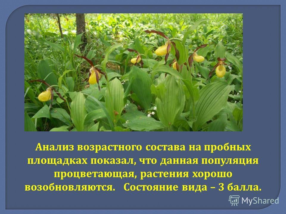 Анализ возрастного состава на пробных площадках показал, что данная популяция процветающая, растения хорошо возобновляются. Состояние вида – 3 балла.
