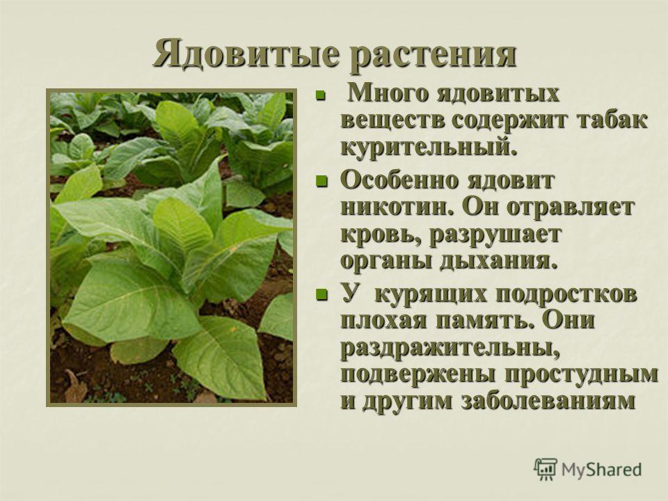 Ядовитые растения Много ядовитых веществ содержит табак курительный. Много ядовитых веществ содержит табак курительный. Особенно ядовит никотин. Он отравляет кровь, разрушает органы дыхания. Особенно ядовит никотин. Он отравляет кровь, разрушает орга