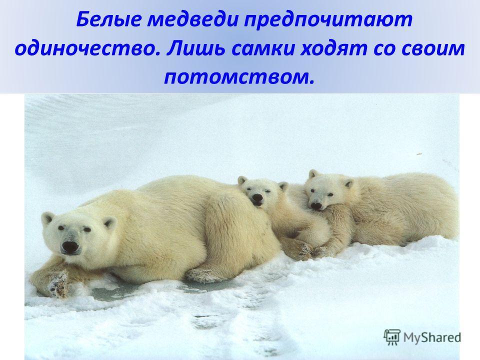 Белые медведи предпочитают одиночество. Лишь самки ходят со своим потомством.