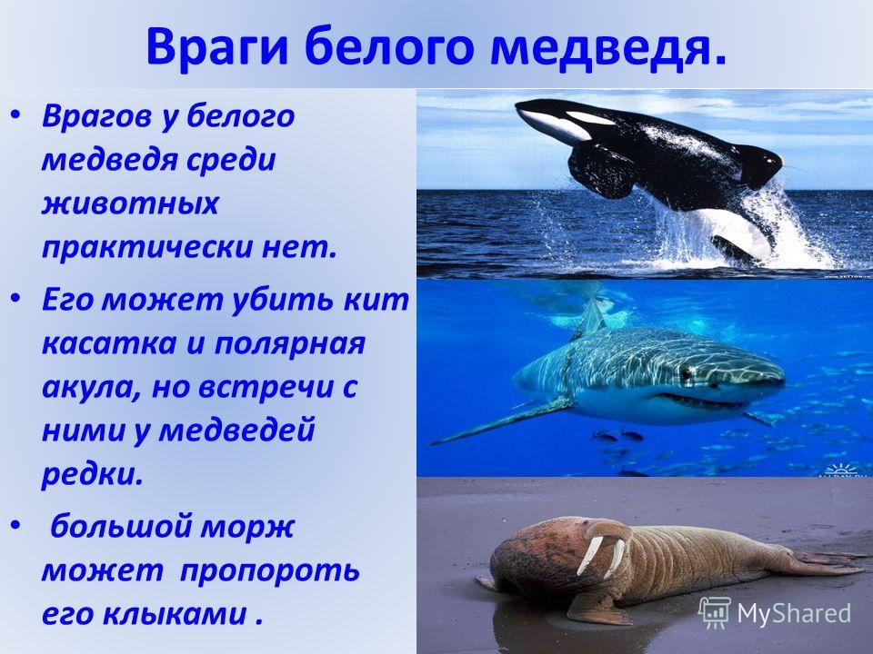 Враги белого медведя. Врагов у белого медведя среди животных практически нет. Его может убить кит касатка и полярная акула, но встречи с ними у медведей редки. большой морж может пропороть его клыками.