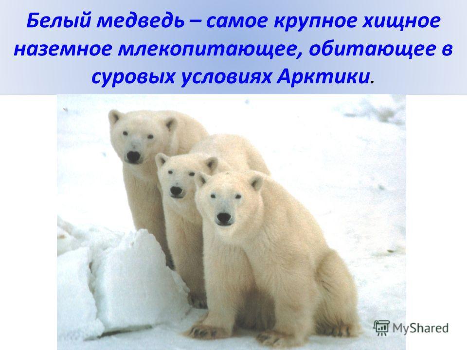 Белый медведь – самое крупное хищное наземное млекопитающее, обитающее в суровых условиях Арктики.