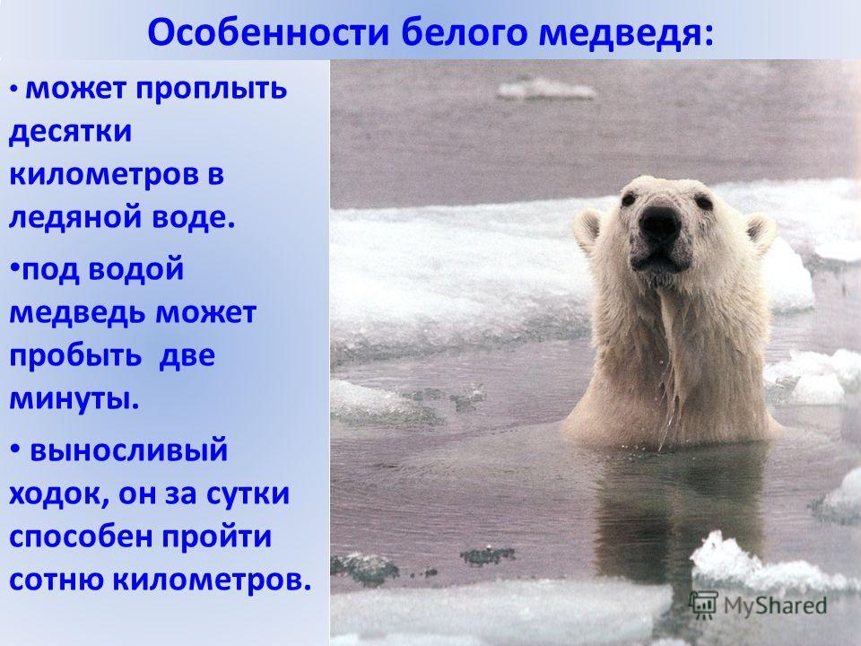 Особенности белого медведя: может проплыть десятки километров в ледяной воде. под водой медведь может пробыть две минуты. выносливый ходок, он за сутки способен пройти сотню километров.