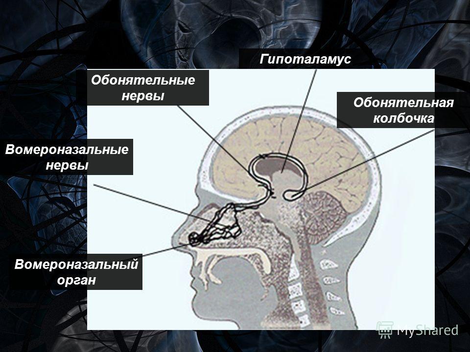 Вомероназальный орган Вомероназальные нервы Обонятельные нервы Гипоталамус Обонятельная колбочка