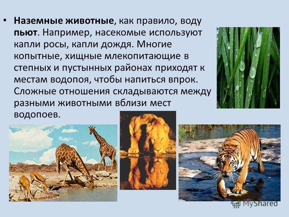 Наземные животные, как правило, воду пьют. Например, насекомые используют капли росы, капли дождя. Многие копытные, хищные млекопитающие в степных и пустынных районах приходят к местам водопоя, чтобы напиться впрок. Сложные отношения складываются меж