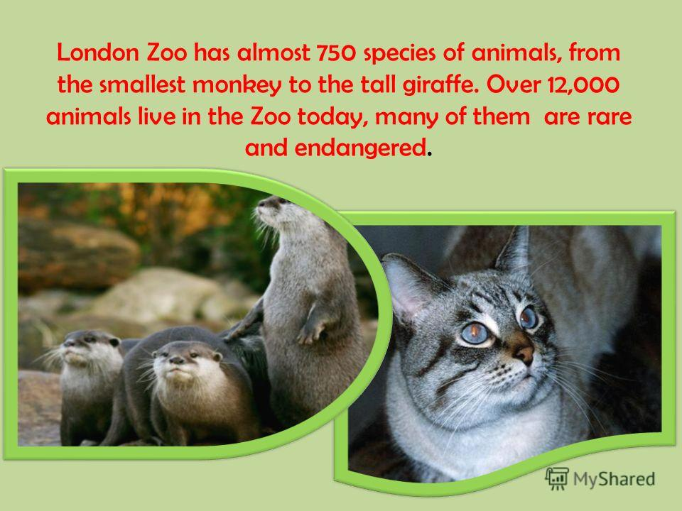 London Zoo has almost 750 species of animals, from the smallest monkey to the tall giraffe. Over 12,000 animals live in the Zoo today, many of them are rare and endangered.