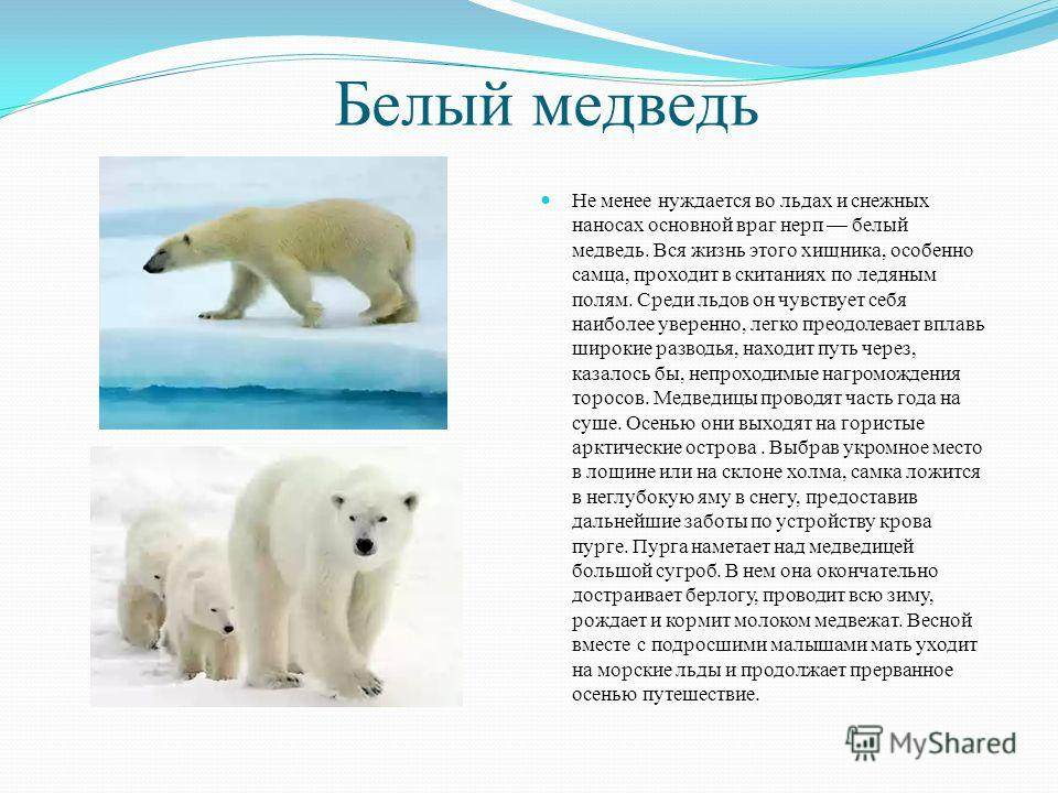 Белый медведь Не менее нуждается во льдах и снежных наносах основной враг нерп белый медведь. Вся жизнь этого хищника, особенно самца, проходит в скитаниях по ледяным полям. Среди льдов он чувствует себя наиболее уверенно, легко преодолевает вплавь ш