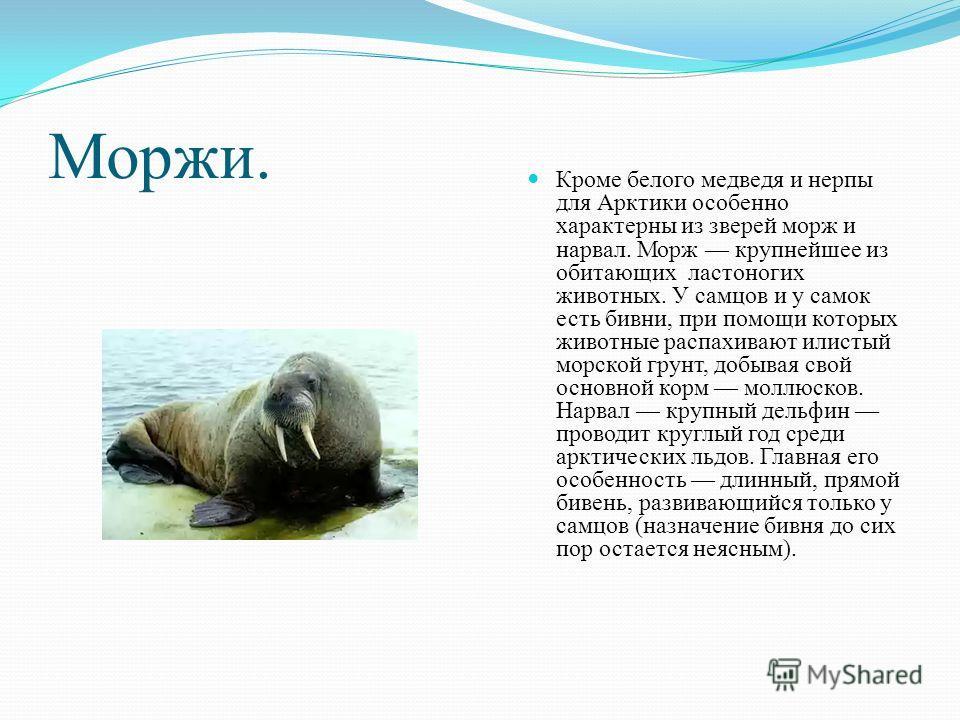 Моржи. Кроме белого медведя и нерпы для Арктики особенно характерны из зверей морж и нарвал. Морж крупнейшее из обитающих ластоногих животных. У самцов и у самок есть бивни, при помощи которых животные распахивают илистый морской грунт, добывая свой