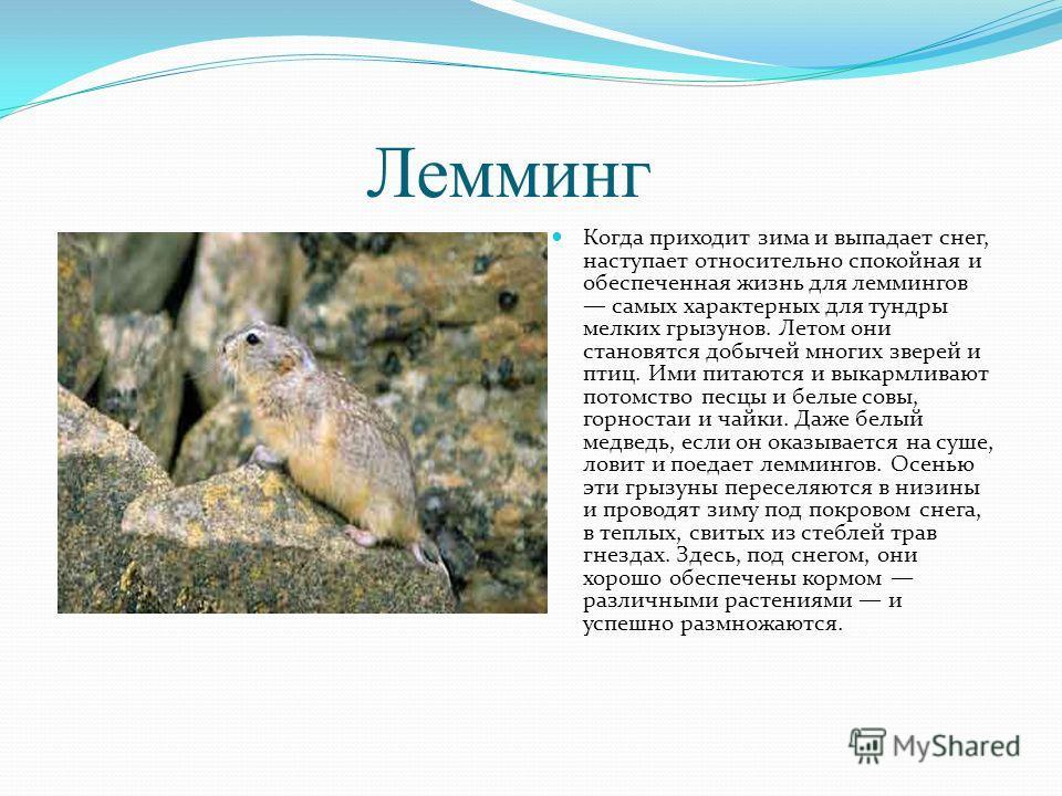 Лемминг Когда приходит зима и выпадает снег, наступает относительно спокойная и обеспеченная жизнь для леммингов самых характерных для тундры мелких грызунов. Летом они становятся добычей многих зверей и птиц. Ими питаются и выкармливают потомство пе