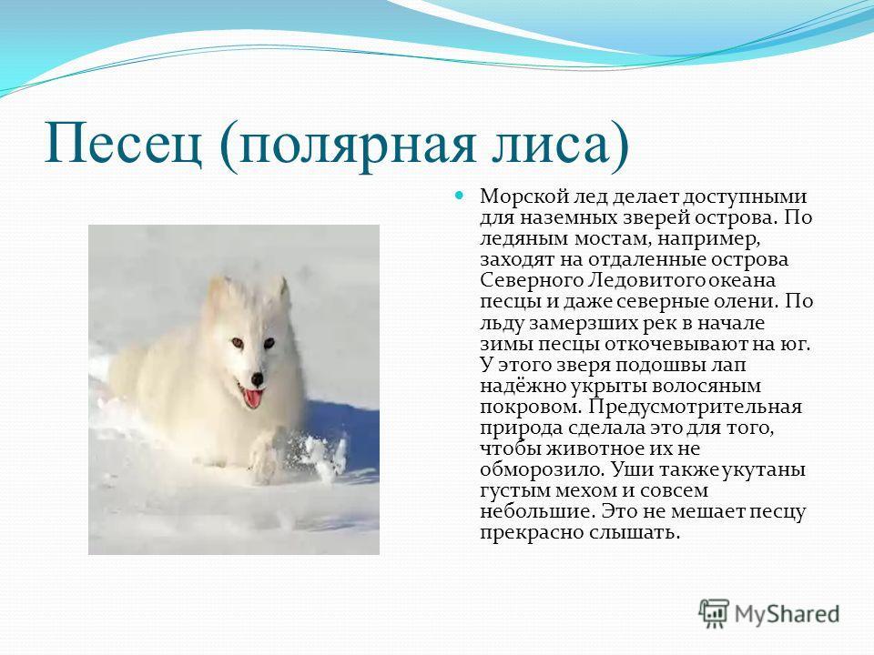Песец (полярная лиса) Морской лед делает доступными для наземных зверей острова. По ледяным мостам, например, заходят на отдаленные острова Северного Ледовитого океана песцы и даже северные олени. По льду замерзших рек в начале зимы песцы откочевываю