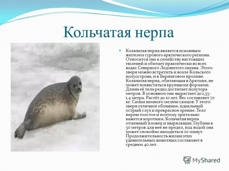 Кольчатая нерпа Кольчатая нерпа является исконным жителем сурового арктического региона. Относится она к семейству настоящих тюленей и обитает практически во всех водах Северного Ледовитого океана. Этого зверя можно встретить и возле Кольского полуос
