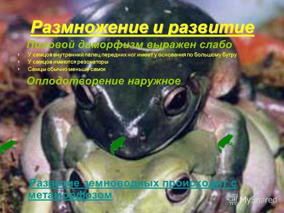 Размножение и развитие Половой диморфизм выражен слабо У самцов внутренний палец передних ног имеет у основания по большому бугру У самцов имеются резонаторы Самцы обычно меньше самок Оплодотворение наружное Развитие земноводных происходит с метаморф