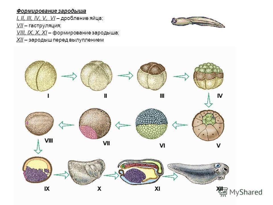 Формирование зародыша I, II, III, IV, V, VI – дробление яйца; VII – гаструляция; VIII, IX, X, XI – формирование зародыша; XII – зародыш перед вылуплением