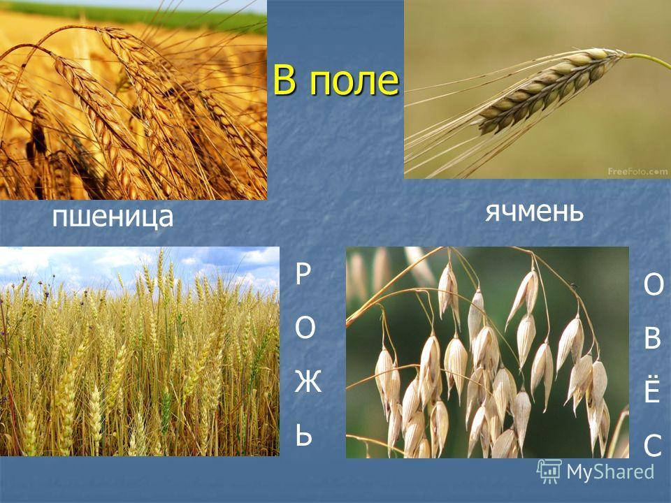 В поле РОЖЬРОЖЬ ячмень пшеница ОВЁСОВЁС