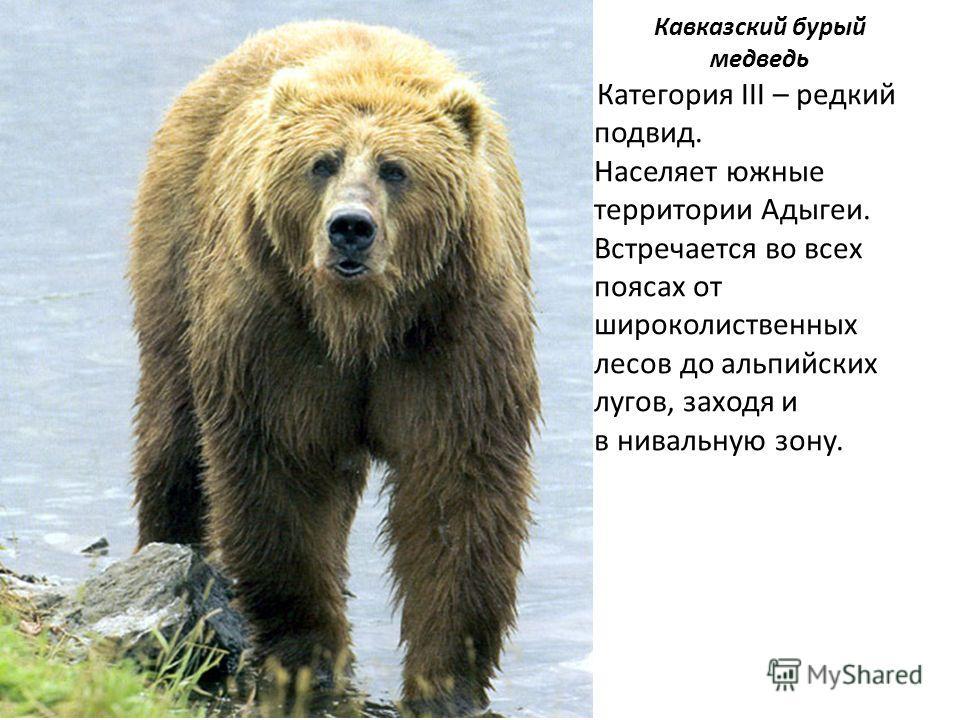 Кавказский бурый медведь Категория III – редкий подвид. Населяет южные территории Адыгеи. Встречается во всех поясах от широколиственных лесов до альпийских лугов, заходя и в нивальную зону.