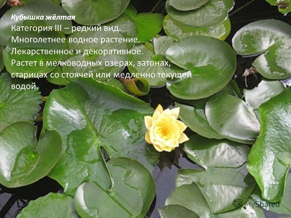 Кубышка жёлтая Категория III – редкий вид. Многолетнее водное растение. Лекарственное и декоративное. Растет в мелководных озерах, затонах, старицах со стоячей или медленно текущей водой.